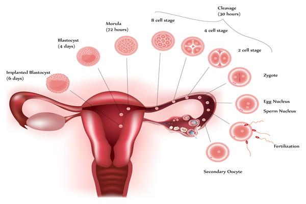卵巢功能下降是什么原因导致的?补救措施有哪些?